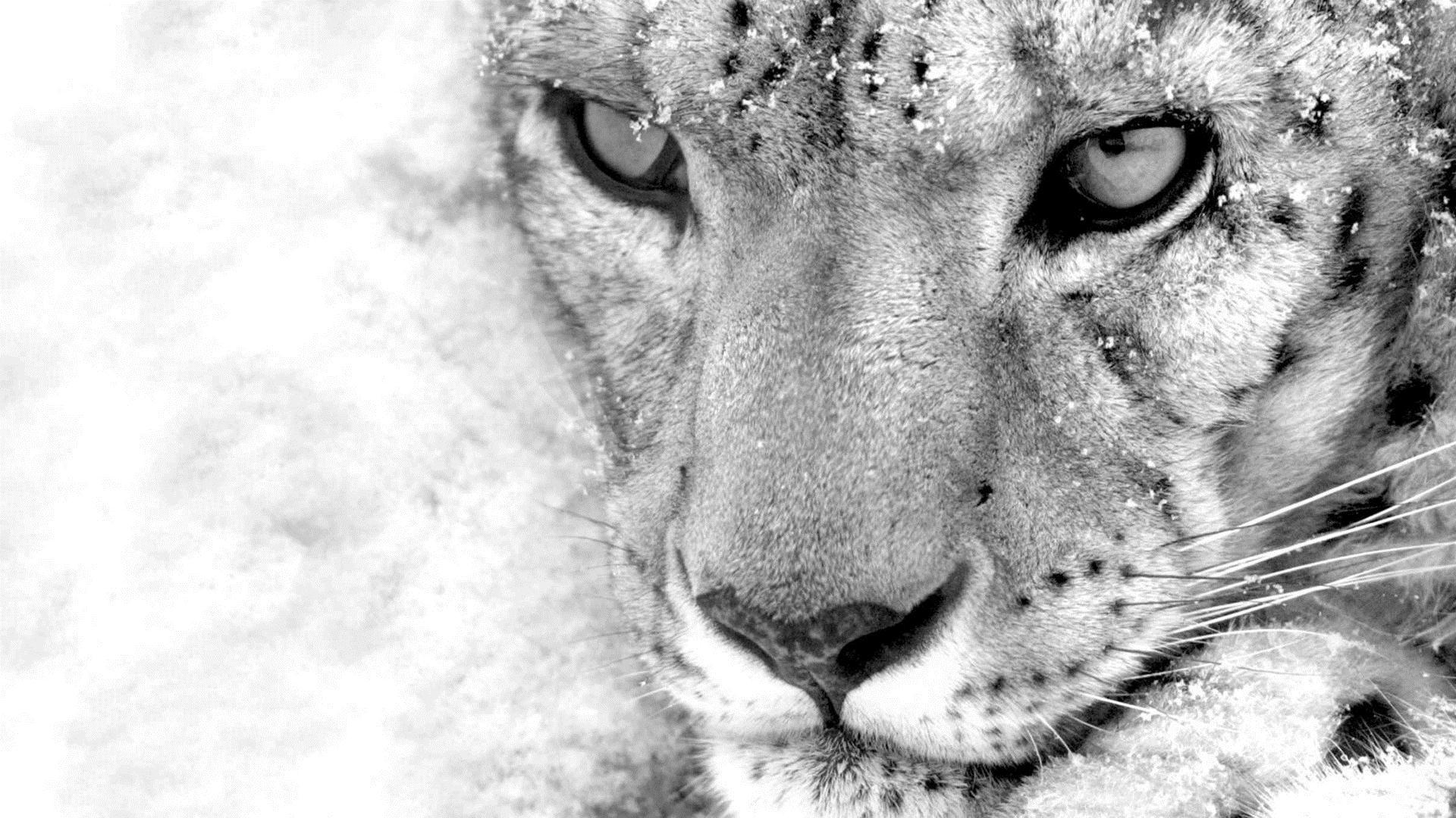 image - snow-leopard-wallpaper | naruto-fanon central wiki