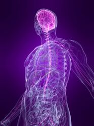4683193-transparente-el-cuerpo-humano-con-el-sistema-nervioso-de-relieve2