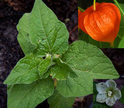 Chinese-lantern-flower