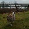 Llama And Ruins