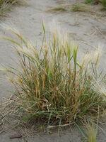 Lovia - Adlibitan Island - Foxtail Barley