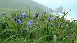 Isle of Frisco - Douglas Iris