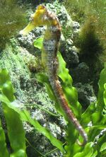 Seahorses - 404px-Hippocampus reidi by Line1