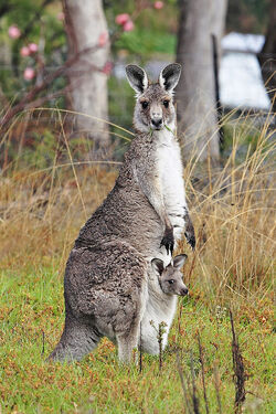 Kangaroo and joey03