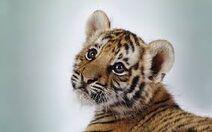 Tiger12