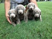 Silver labs