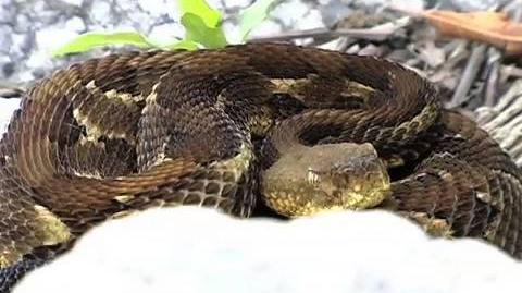 7 Timber Rattlesnakes...or 8?