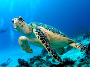 Sea Tutle