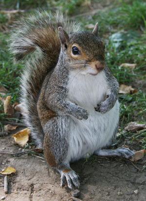 Common Squirrel