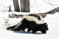 Striped Skunk (Mephitis mephitis) DSC 0030