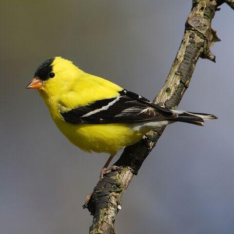 File:American Goldfinch.jpg