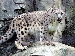 File:Snow Leopard.jpg
