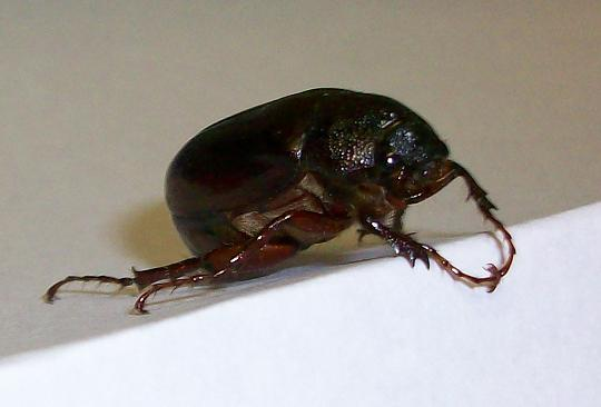 File:June Beetle or May Beetle.jpg