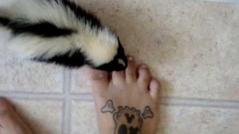 Jasper pet skunk Crying to be picked up