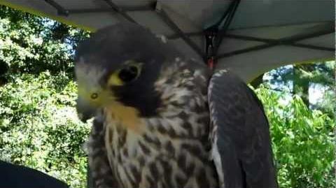 Peregrine Falcon Makes Sounds
