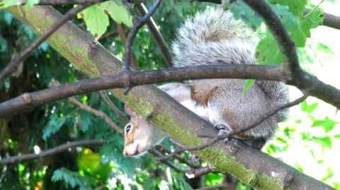 Agitated grey squirrel call