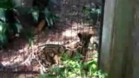 Clouded Leopard Meowing.wmv