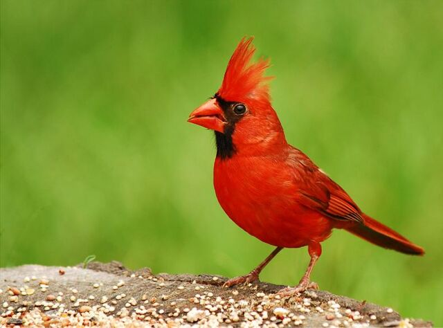 File:Northern cardinal.jpg