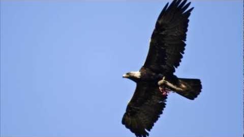 Golden Eagle ~ Bird Call ~ bird song