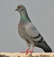 Blue Rock Pigeon (Columba livia) in Kolkata I IMG 9762