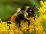 Orange-Belted Bumblebee