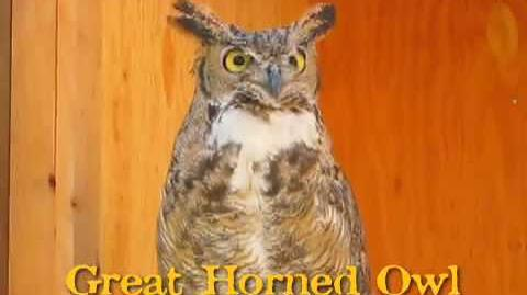 Great Horned Owl hooting.-0