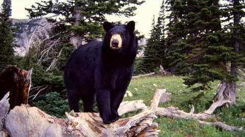 Bear Growling and Roaring Black Bear Sounds