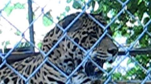Roaring Jaguar