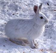 Winter Snowshoe Hare