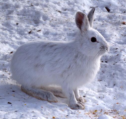 File:Winter Snowshoe Hare.jpg
