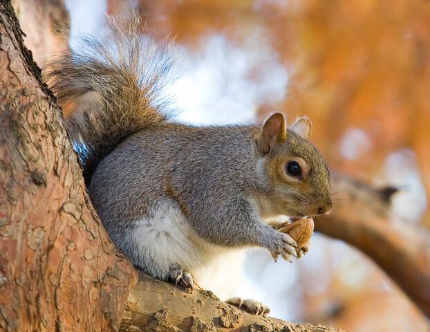 File:Eastern Grey Squirrel in St James's Park, London - Nov 2006 edit.jpg