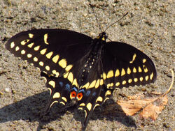 Eastern black swallowtail