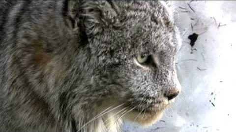 Lynx Growls