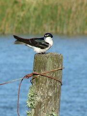 White-rumped Swallow
