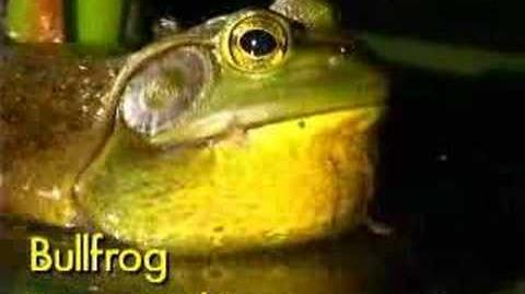 Bull Frog Call