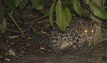 File:Sunda Clouded Leopard.jpg