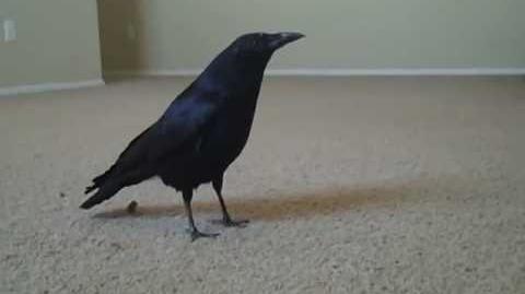 """Crow - Ricky says """"Caw"""""""