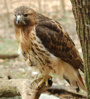 Red-tailed Hawk Buteo jamaicensis Full Body 1880px