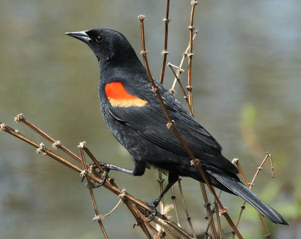 File:Red winged blackbird.jpg