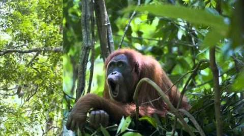 Orangutan Longcall