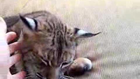 Purring Bobcat