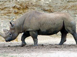 Black Rhinocres