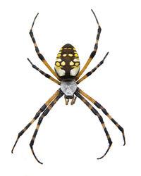 Garden Spider - Isolated 2152104