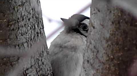 Hairy Woodpecker singing