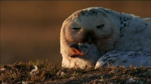 NATURE Magic of the Snowy Owl Hatching Owlets PBS