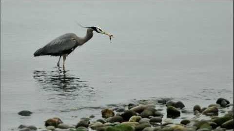 Great blue heron call