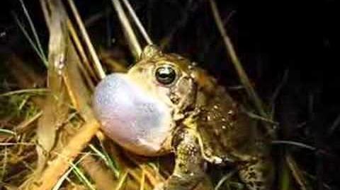 American toad (Bufo americanus) calling