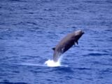 Southern Bottlenose Whale