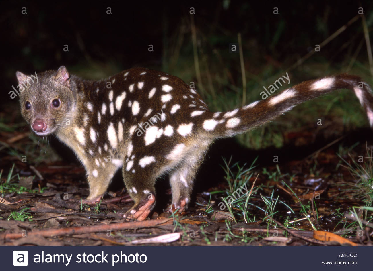 what are tiger quoll diet