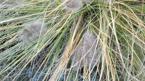Federborstengras (Pennisetum alopecuroides) mit Scheinähren im Botanischen Garten Augsburg - 26. Oktober 2013